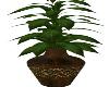 Oasis Plant