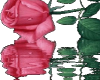 Pink rose reflected