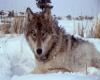 Yellowstone Grey Wolf