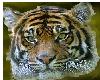 Tiger_face_Bengal