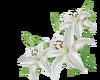White Tulips -R