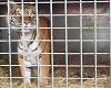 cirque des tigre et lion