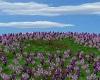 AAP-Lavender Field