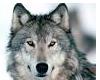 Wolf VB