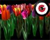 Tulips shrub