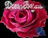 DB Dew Kissed Red Rose