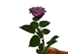 Long Stemmed Purple Rose