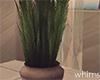 Honeymoon Plant Palm