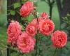 (Sn)May Roses