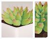 succulent /dev