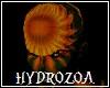 Hydrozoa No Hair