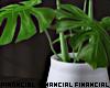 Modern Monsteria Plant