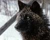 Black Shadow Wolf