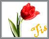 (Tis) Red Tulip