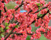 Blooming Asian Tree