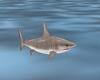 {IJ} Tiburon Shark