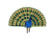 ♫ Peacock & animation