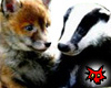 Fox and Badger youngster