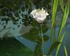 Long Stemmed White Rose