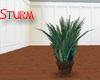 Mediterranean Fan Palms