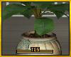 Tropicano plant