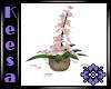 Plumaria Pale Pink
