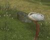 Senja Heron