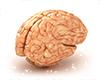 Cerebro avi