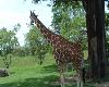 [KD69] Giraffe Backdrop