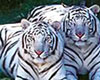 2 White Tigers