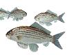 TF* Swimming FISH Bass
