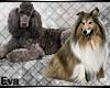 ea- Collie & Poodle Enh