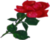 Animated Red Rose