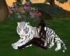 Rare White Tiger - Poses