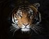 ZEN Tiger head